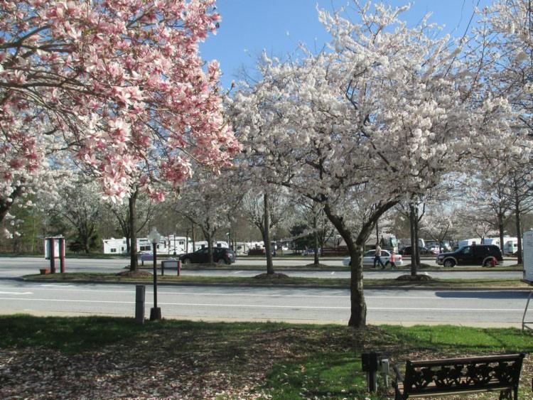 spring blossoms at cherry hill park